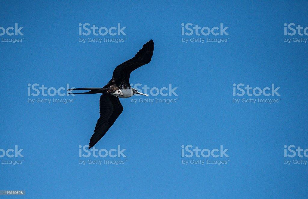 Great Frigatebird with blue Sky stock photo