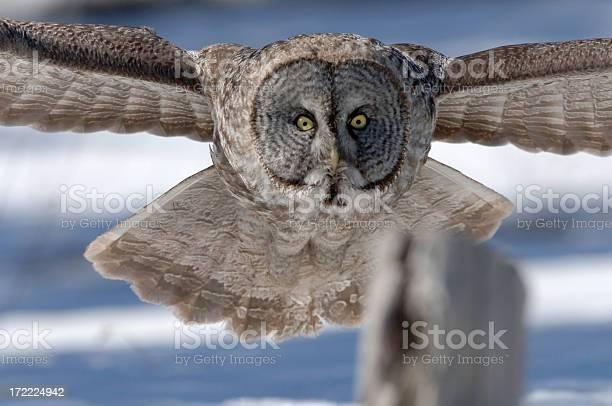 Great gray owl in flight picture id172224942?b=1&k=6&m=172224942&s=612x612&h=qbgqdqakwsuhgwlpj xm9nkavslz0dryhxuxnjyvqd8=