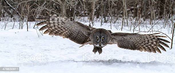 Great gray owl in flight picture id476630911?b=1&k=6&m=476630911&s=612x612&h=pnqdahe5h y9aaswsf2i2usfuoix2inn766plj2r3pc=
