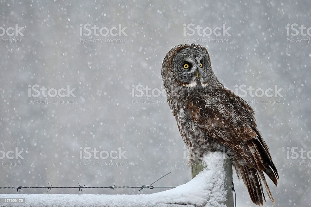 Great Gray Owl on Fence in Snow stock photo