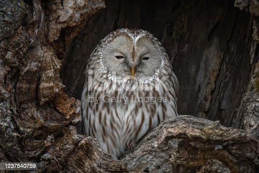 A close-up shot of a Great Gray Ural owl perches inside a tree-hole in Hokkaido, Japan