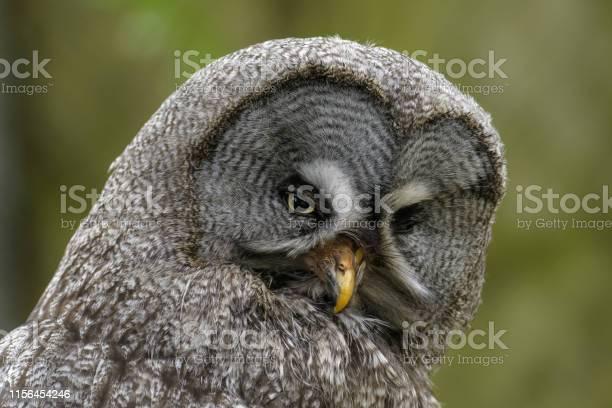 Great gray owl picture id1156454246?b=1&k=6&m=1156454246&s=612x612&h=wsdor1quuaiq5jmrylfll3jrzoqdrcv8cwzvsmtivam=