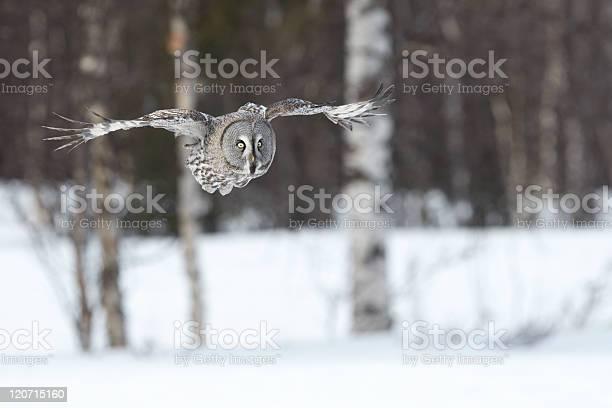 Great gray owl picture id120715160?b=1&k=6&m=120715160&s=612x612&h=8v7tfado1yikaz0tx0tukcdu3b5z0kgechwwv vdaca=