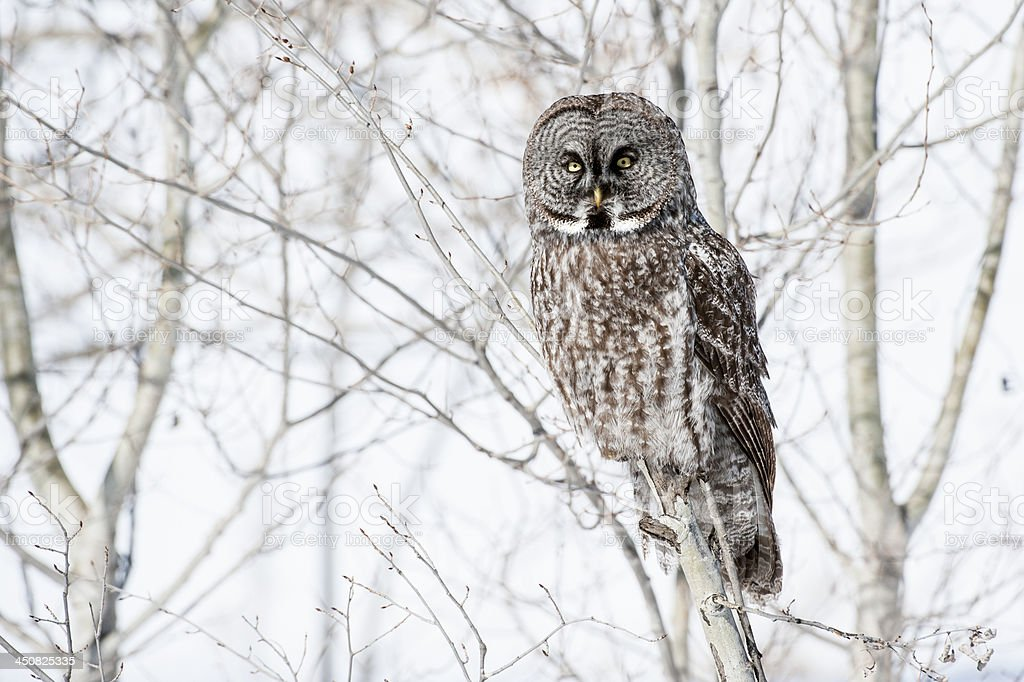 Great Gray Owl Stock Photo - Download Image Now - iStock