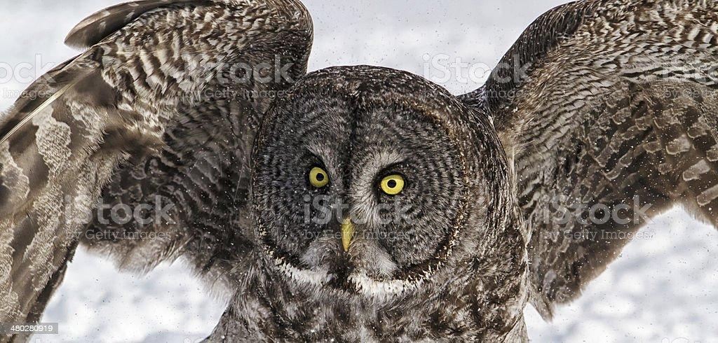 Great gray owl royalty-free stock photo