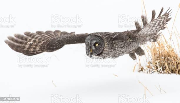 Great gray owl picture id957899576?b=1&k=6&m=957899576&s=612x612&h=blyrwksmrk0ysltorcqf2kgsclczoynox4uzjg3cloa=