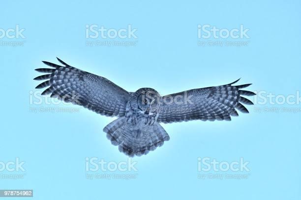 Great gray owl picture id978754962?b=1&k=6&m=978754962&s=612x612&h=3 jppeove6kdv40sjvujc6b2tnjbd3gix1thfeqk5mg=