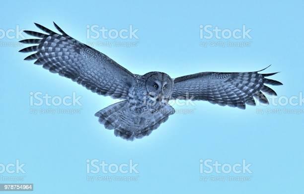 Great gray owl picture id978754964?b=1&k=6&m=978754964&s=612x612&h=6sjgvwpvsuvwdjlruepamwm7hrft9lb51zpcxtjtxxu=