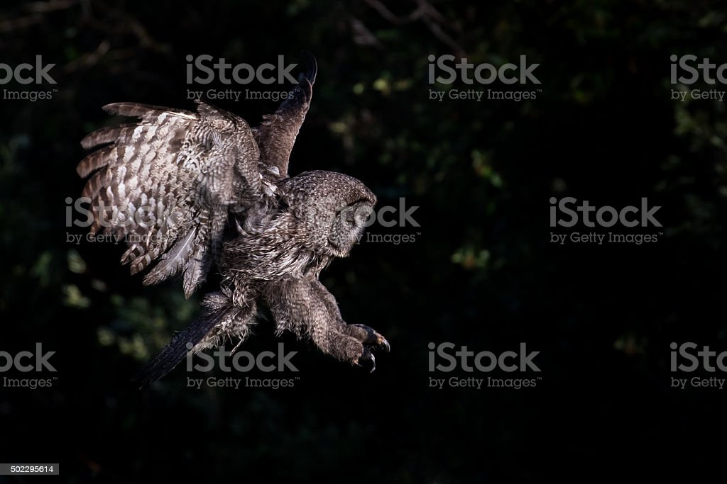 great gray owl ready to attack stock photo