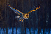 Great gray owl, strix nebulosa, flying in the morning light. Rare bird of prey.