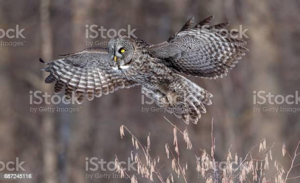 Great gray owl strix nebulosa rare bird in flight picture id687245116?b=1&k=6&m=687245116&s=612x612&h=bzzu5hvucbz5f1 tp1mxkmso9rmnn6swlqupvcproo4=