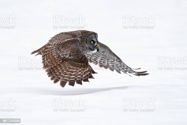 Great gray owl strix nebulosa rare bird in flight picture id687245336?b=1&k=6&m=687245336&s=612x612&h=jxedcutgwxd vvfz2rmql 8xciwjjnmkx okvxfb7ks=