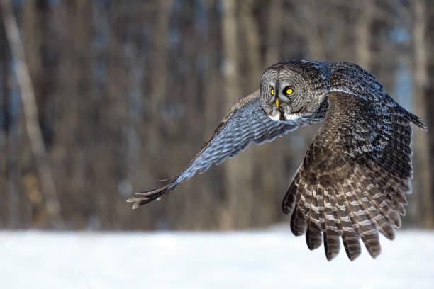 Great gray owl strix nebulosa rare bird in flight picture id687245404?b=1&k=6&m=687245404&s=612x612&w=0&h=mixbagi3hl7ivbfrr8exuzlqzbv b3g8kxyx7a4zxuq=