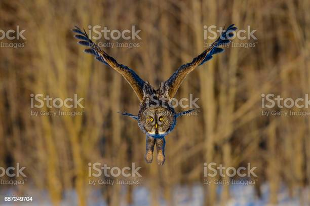 Great gray owl strix nebulosa rare bird in flight picture id687249704?b=1&k=6&m=687249704&s=612x612&h=o7pdg8owmb00y xgkpgftqamxignuvm7l84 v8crbc4=