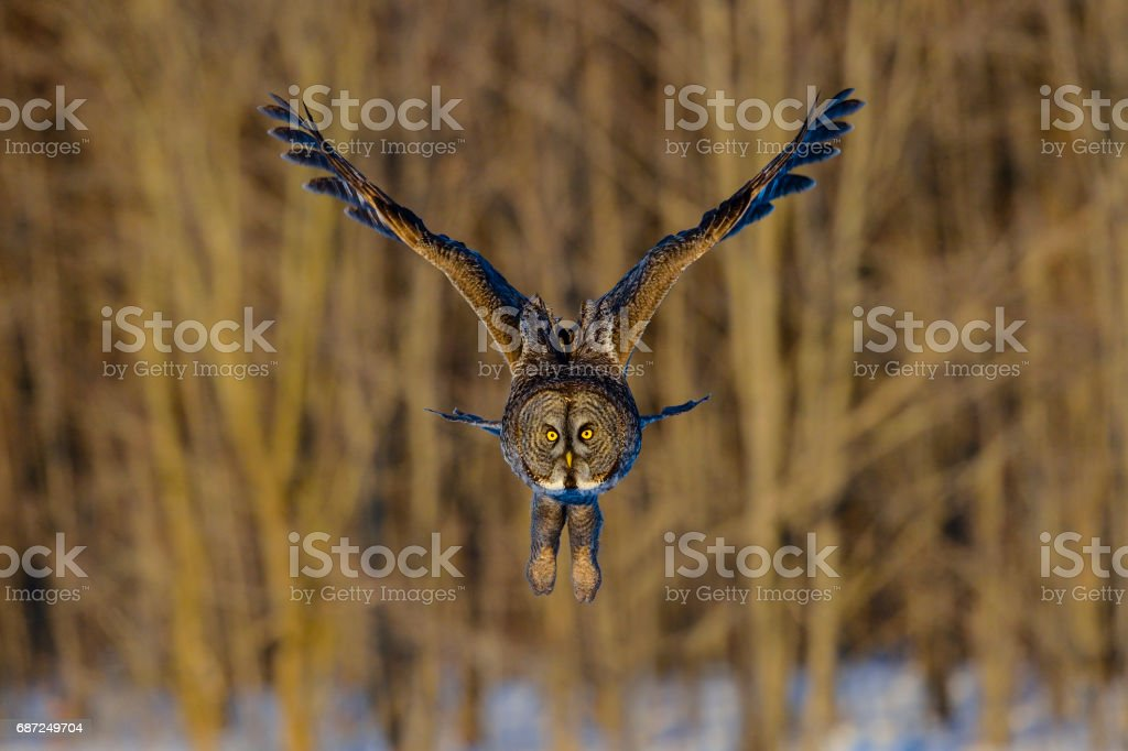 Great gray owl, strix nebulosa, rare bird in flight stock photo