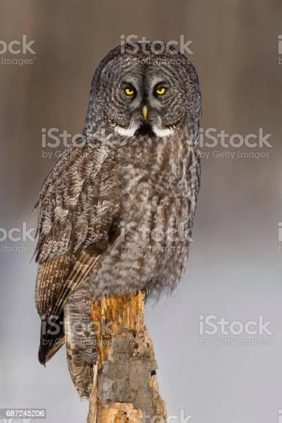 Great gray owl strix nebulosa rare bird perching picture id687245206?b=1&k=6&m=687245206&s=612x612&h=xlrmxnwu m4ku 3a2j4slxd3no5xpz6tyhqi5jhyp4s=