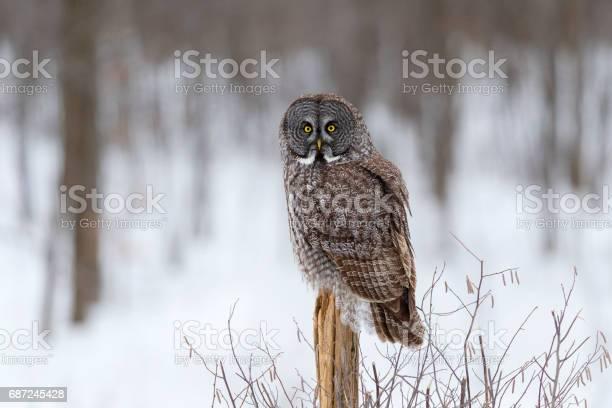 Great gray owl strix nebulosa rare bird perching picture id687245428?b=1&k=6&m=687245428&s=612x612&h=jqkjnbvlfop3uqwb7gbpgyej06hom3xdinmrhffv8y4=
