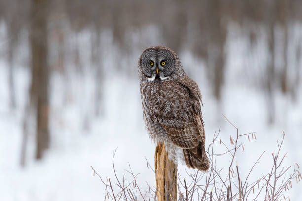 Great gray owl strix nebulosa rare bird perching picture id687245428?b=1&k=6&m=687245428&s=612x612&w=0&h=it fmdk6t1exomzuq2zxdl1isaqbkz5n2nv  jfyzyg=