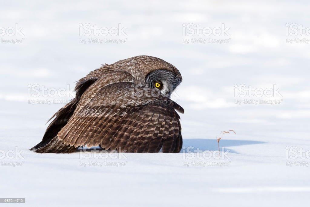 Great gray owl, strix nebulosa, rare bird stock photo