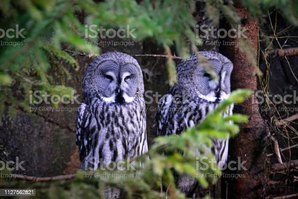 Great gray owls sits on a tree picture id1127562821?b=1&k=6&m=1127562821&s=612x612&h=naomdxeg9mukz2z2466iodg0x5zwflziqgajk3 2xte=