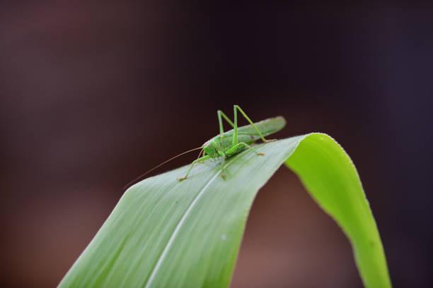 grote groene bush-cricket kruipen op groene blad macro foto - locust swarm stockfoto's en -beelden