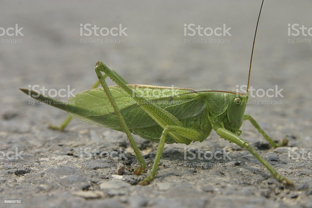 Great Green Bushcricket royalty-free stock photo