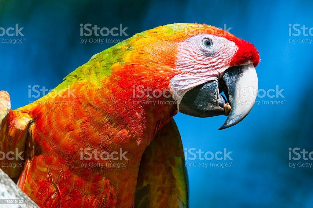Close-up of a great green macaw. Bird in the wild, Costa Rica. Ara...