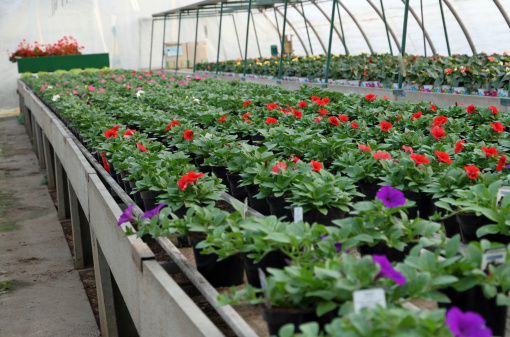 istock great greenhouse for the cultivation of flowers in a warehouse 483168969