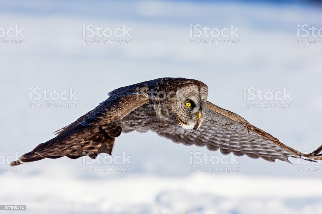 Great Grey Owl flying in a snowy background. royalty-free stock photo