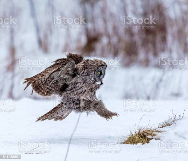 Great grey owl flying picture id641236952?b=1&k=6&m=641236952&s=612x612&h=umodxbfpeg508jc1frt2ct0ieqvbcfog6dcnrujzxgu=