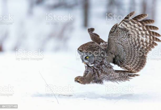 Great grey owl flying picture id641237148?b=1&k=6&m=641237148&s=612x612&h=ibinfvzf6wd8z13nq s 3 d112ggzwwyywib6oqtse8=