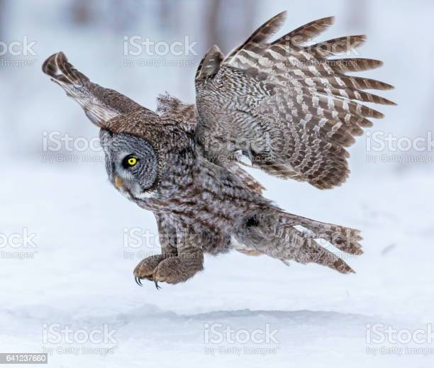 Great grey owl flying picture id641237660?b=1&k=6&m=641237660&s=612x612&h=80plfca akjktuz4tnvdbyac4lh0oxltx8yv4pcz7re=