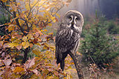 wise owl sitting on branch looking at camera in autumn forest, back lit