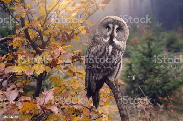 Great grey owl in forest strix nebulosa picture id956137982?b=1&k=6&m=956137982&s=612x612&h=oemm0wf 4 chqxepsjnemtjl34pnrdv7kul6yw3q li=