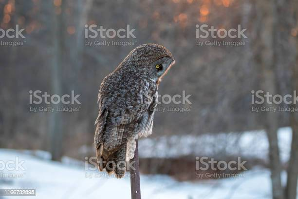 Great grey owl on a winter evening with snow in the background picture id1166732895?b=1&k=6&m=1166732895&s=612x612&h=vfi7csob4pvwrphl0wsccljmswxzbgiodcv0moxmmx4=