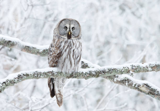 Great Grey Owl perched in a tree in winter Close up of Great Grey Owl (Strix nebulosa) perched in a tree, winter in Finland. taiga stock pictures, royalty-free photos & images