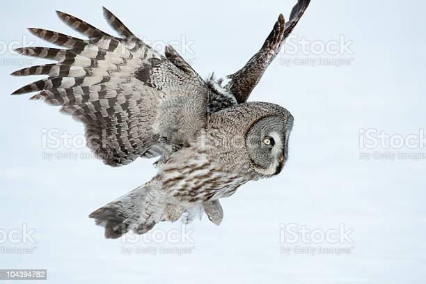Great grey owl picture id104394782?b=1&k=6&m=104394782&s=612x612&h=x5hkasz62ttafspdxgcvpf3r1px8pz rlo2xrf3blbu=