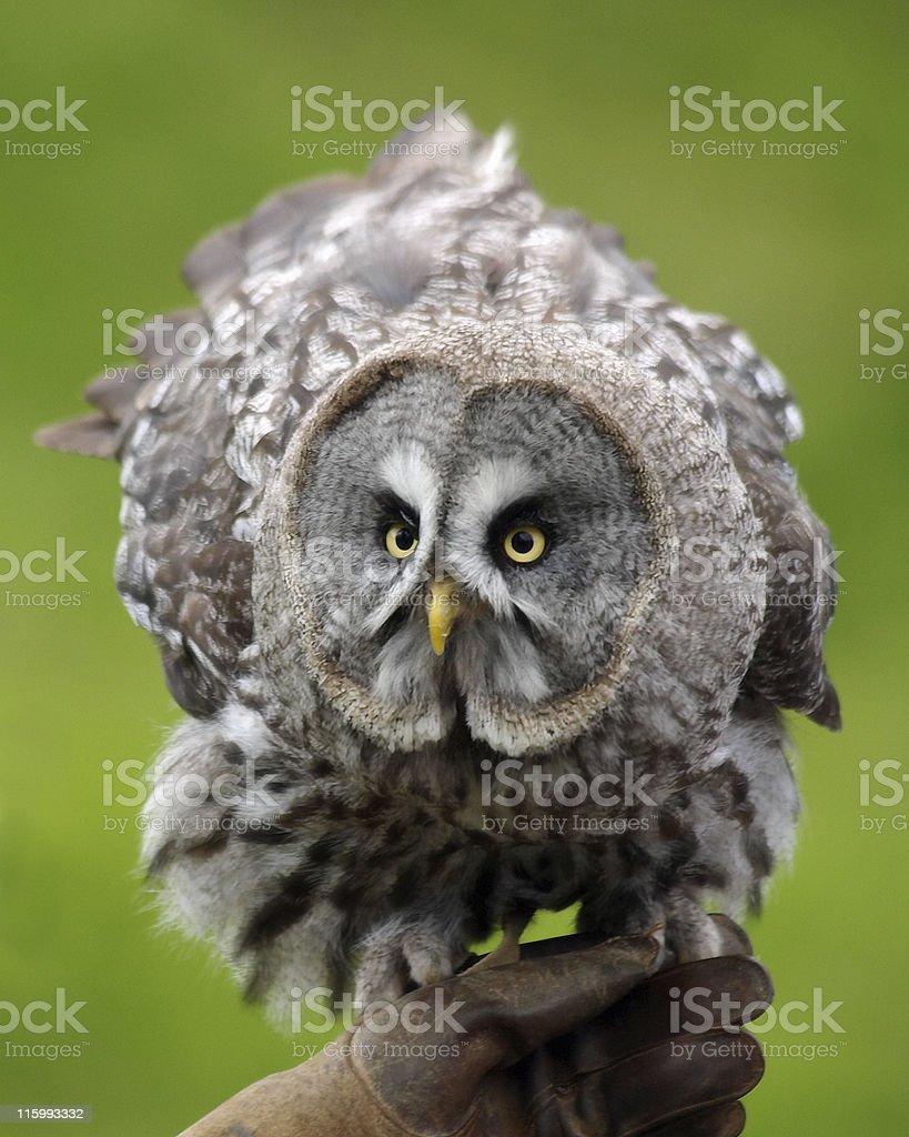 Great Grey Owl (Strix nebulosa) royalty-free stock photo