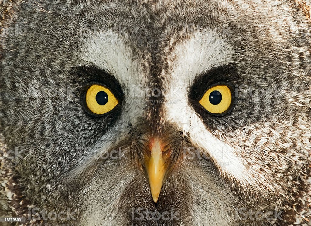 Great Grey Owl Stock Photo - Download Image Now - iStock