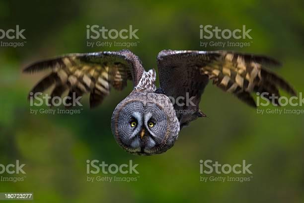 Great grey owl picture id180723277?b=1&k=6&m=180723277&s=612x612&h=go6uoyybyg8zmur bi q7zgcedivqgjczmmjhokkhga=