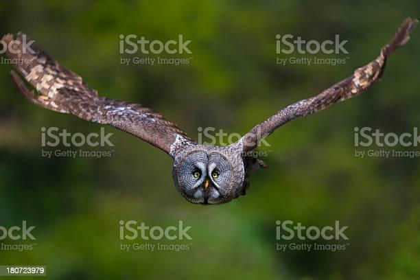 Great grey owl picture id180723979?b=1&k=6&m=180723979&s=612x612&h=15n75tvezdhemjdp85qj e xcave5fjtjz1xe7mytnk=