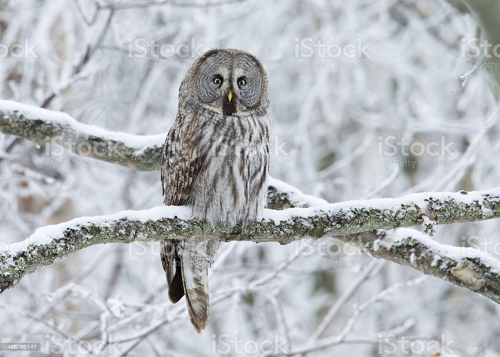 Great Grey Owl (Strix nebulosa) stock photo