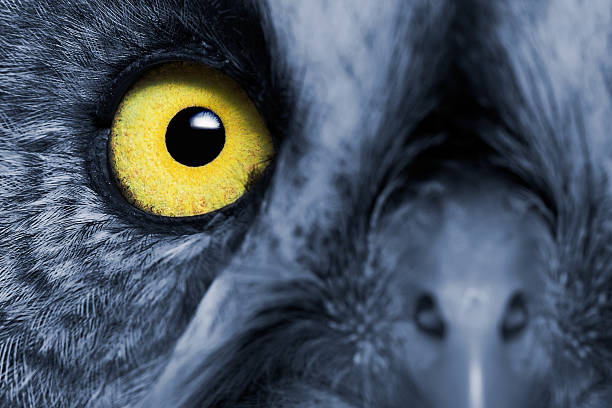great grey owl - animal eye stock pictures, royalty-free photos & images
