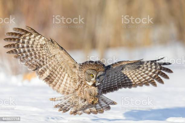 Great grey owl picture id645527718?b=1&k=6&m=645527718&s=612x612&h=krorw51y3pgur6wehqviztyodxz3mtwfk03nf5hsjwa=