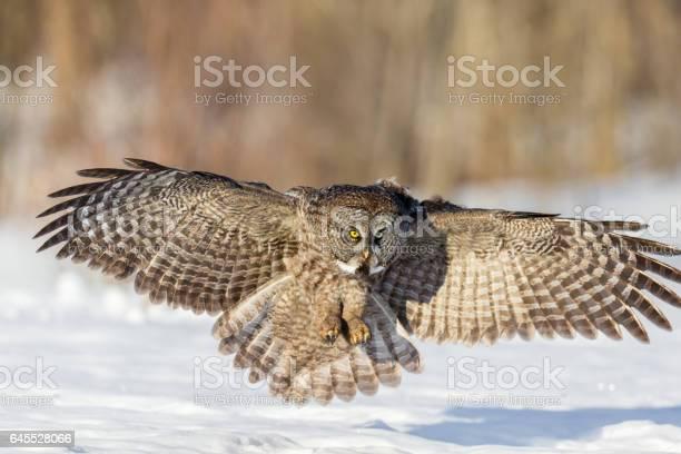 Great grey owl picture id645528066?b=1&k=6&m=645528066&s=612x612&h=mqw5sycub m8udlrtjjlad6wb1m0rx97xhoocxogczy=