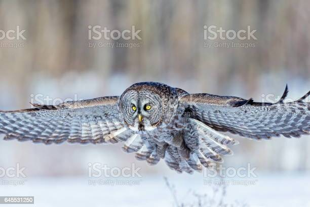 Great grey owl picture id645531250?b=1&k=6&m=645531250&s=612x612&h=zftdgeghf3v66pazwuefp3aolghg4isrlgizfvdr82c=