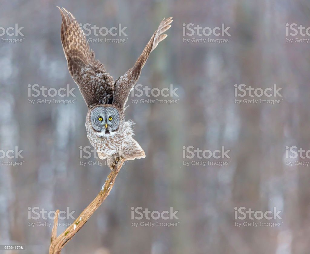 Great Grey Owl. royalty-free stock photo