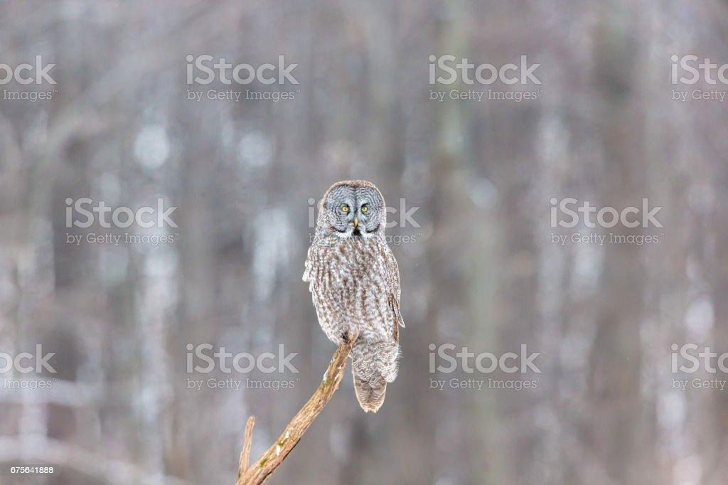 Great Grey Owl. royalty-free stock photo