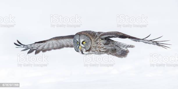 Great grey owl picture id678297288?b=1&k=6&m=678297288&s=612x612&h=gzo0 5hyl9lgmkufig4alzgpbg vtp1zeai46xmeajo=