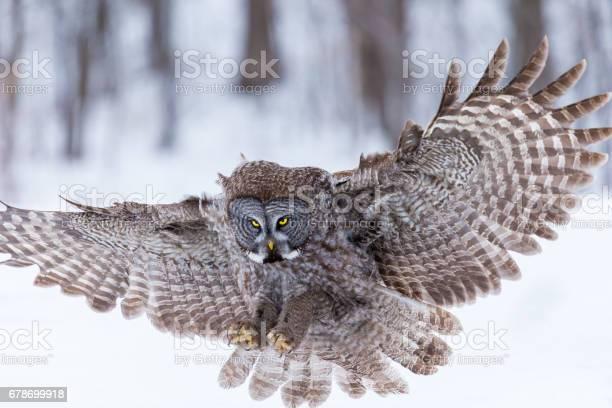 Great grey owl picture id678699918?b=1&k=6&m=678699918&s=612x612&h=8cfqbuaf0fgqy3gfpqt59eqowk2onr84o8ldgphonpq=